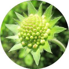 35+ GREEN PINCUSHION SCABIOSA FLOWER SEEDS / PERENNIAL