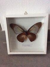 Papilio zalmoxis (C. Africa) im Holz-Schaukasten18x18x3,5 cm hinter Glas