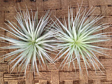 Air Plants Houston Lite Pink Xl 2 Pack (6-8in)