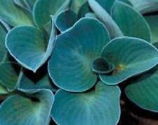 New listing Hosta 'Blue Mouse Ears' – shade loving perennial