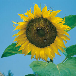 Giant Sunflower 40 seeds