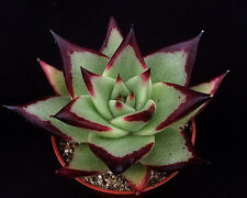 Echeveria agavoides 'Ebony' Surreal Succulents