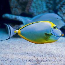 Small Naso Tang Marine Saltwater Fish