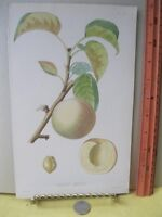 Vintage Print,ABRICOT LIABOUD,French Fruit,Tree