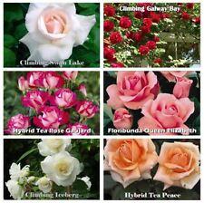 1 FRAGRANT CLIMBING / BUSH ROSE BARE ROOTED PLANT SHRUB RED PURPLE WHITE ORANGE