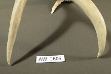 authentic whitetail antler for decor, handles, crafts, mount, knife, ect. AW0605