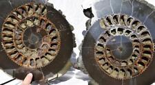 "522 ULTRA-RARE New Find Speetoniceras 22.5# PAIR Russian 305mm Ammonite XXXL 12"""