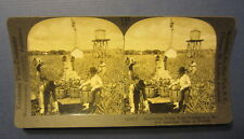 Old Antique - Harvesting INDIAN RIVER Pineapples - FLORIDA - Stereoview PHOTO
