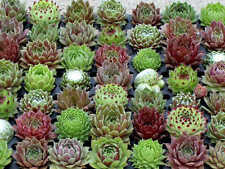 MIXED COLORS HENS & CHICKS SEMPERVIVUM SUCCULENT~5 PLANTS (CHICKS) BARE ROOT