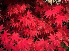 Japanese Maple Seeds-'Osakazuki Akame' Fresh 20 Seeds-Rare! Grown in Canada.