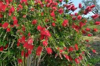 Narrow Leaved Bottlebrush Seeds 4m Shrub Frost Hardy Evergreen