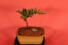 Traditional Bonsai, Japanese Juniper, 2 Years Old, Windswept Style.