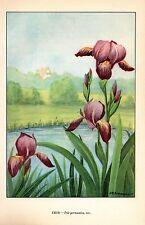 """1926 Vintage GARDEN FLOWER """"IRIS"""" GORGEOUS COLOR Art Print Lithograph"""