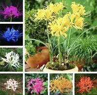 Lycoris Bonsai Bonsai Seeds Plants Perennial Flower Ing Indoor Beautiful 100pcs