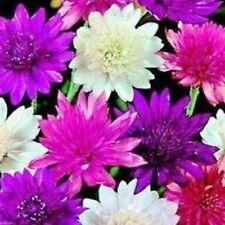 Xeranthemum Lumina doubles Mixed - Appx 200 seeds - Annual - Dried flower
