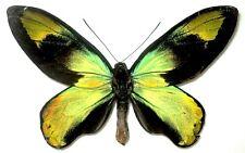 Ornithoptera victoriae epiphanes male. FORM GABRIELI. Solomon Island. Very Rare!