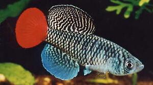 30 EGGS NOTHOBRANCHIUS PATRIZII KILLIFISH KILLI EGG HATCHING TROPICAL FISH