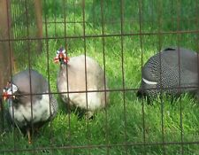 6+ Guinea Fowl fertile hatching eggs. Fancy Colored. Pied Buff Dundotte Rooster