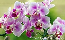Orchids (4) - Giclee Photo Print