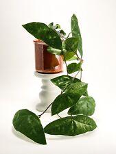 Passiflora coriacea - Batwing Plant - Rare Vining Plant