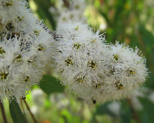 30+ Graines Menthe Eucalyptus-Eucalyptus radiata-Seeds-Peppermint