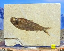 More details for fossil fish on matrix knightia eocaena - large prehistoric dinosaur eocene 324g