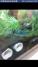 Blue convict cichlid HRP