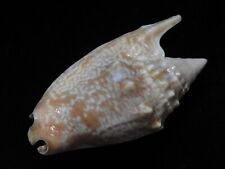 Sea Shell Strombus euprotomus bulla 62.4mm ID#5016