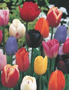 Angebot 100 Tulpenzwiebeln gemischt Blumenzwiebeln Tulpen