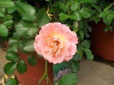 Peach Drift NEW Groundcover Rose 1 Gal. Live Shrub Plants Shrubs Plant Roses NOW