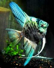 10 (ten) x Blue Marble Angelfish (Pterophyllum scalare, South American Cichlid)