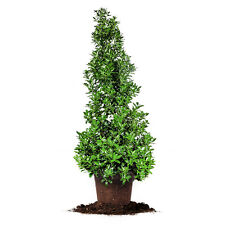 Oakleaf Holly, Live Plant, Size: 2-3 ft.