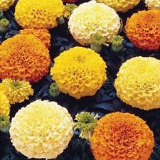 100 Marigold Crackerjack Seeds - Big Large Double Flower Heirloom African Plant