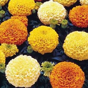100 Marigold Crackerjack Seeds - Big Large Double Flower Heirloom African Plant