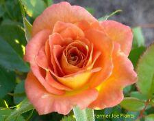 "Sunrosa - Orange Delight - Miniature Rose -1 Plant - 4"" Pot- Antique-Zone 4 - 10"