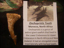 Fossil Dinosaur Bones Beautiful OnchopristisTooth Awesome Quality and Size