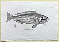 1803 Shaw SCARCE COPPER PLATE ENGRAVING Green Scarus EXCEPTIONAL Fish PRINT L@@K