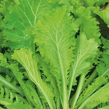 Oriental - Mustard Greens Southern Giant - 1000 Seeds