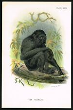 1890 Siamang Black-Furred Gibbon Monkey, Antique Natural History Print - Allen