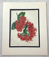 1877 Antique Botanical Print Red Scarlet Clerodendron Flowers Floral 19th C Art