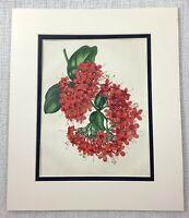 1877 Antico Botanico Stampa Rosso Scarlatto Clerodendron Fiori 19th C Art