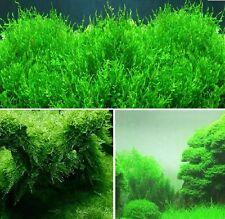 Quellmoos winterharte immergrüne einheimische Wasserpflanzen für draußen Teich