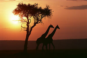 African Sunset Giraffes Tree Canvas Pictures Animal Wall Art Prints All Sizes