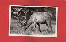 Rppc An Elk with horns in Velvet,State Game Preserve, Rise Studio Rapid City Sd