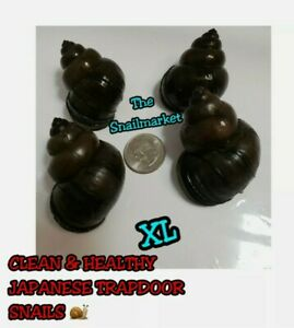 (6) XL CLEAN TRAPDOOR SNAILS. FREE SHIPPING W/FEDEX & UPS. FOR POND OR AQUARIUM