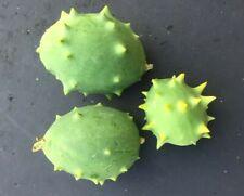 DECORATIVE CUCUMBER - 20 seeds - cucumis carolinus - Exotic vegetable