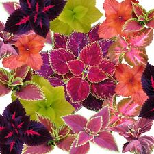 COLEUS RAINBOW IMPROVED  mixed 100 seeds COLORFUL 4 FLOWER GARDEN BEST VALUE