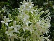 12 graines d' ARBRE JASMIN (Millingtonia hortensis)T116 TREE JASMINE SEEDS SAMEN