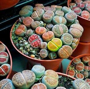 RARE Lithops MIX succulent cactus living stones desert rock seed 50 US farm shi