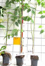 Decaisnea fargesii  - chinesischer  Blauschotenstrauch, Pflanze